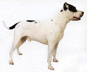 Собака стаффордширский терьер фото сильный умный и
